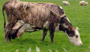 Brindle cow  PHOTO BY Christian Bickel, Creative Commons Attribution-Share Alike 2.0 Germany
