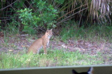 Cat sees bobcat. Bobcat sees...