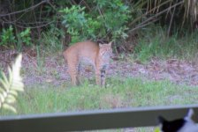 Cat sees bobcat who sees coyote...
