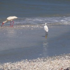 Ibises and snowy egret at work and play on Sanibel Island, FL, beach - July 2013