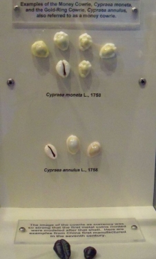 The Shell Museum display of cowry shells