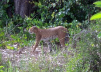 Bobcat follows coyote
