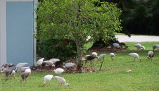 They came, they saw, they ate... Some ibises flew into the neighborhood one afternoon this summer
