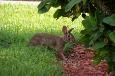 Mr. Bunny was a frequent visitor... I thought he was cute until he started eating all my newly planted lantana flowers.