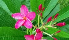 The frangipani in bloom