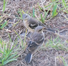 Young mockingbirds foraging on the ground outside the house, around sundown.