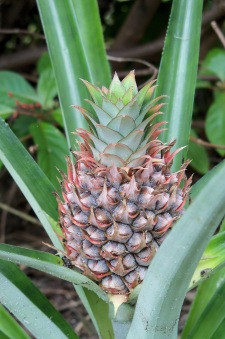 Finally, after two years, a pineapple emerged!