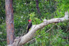 Pileated woodpecker on a walkabout