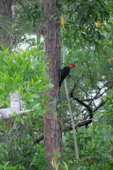 Pileated woodpecker in the woods behind the house