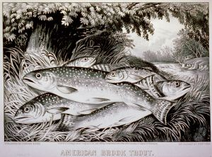 Wikimedia Commons (public domain) American brook trout. Lithograph, 1872, Currier & Ives