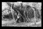 Rubber trees, Lake Worth, Fla. - Wm. Henry Jackson, Photographer (Library of Congress Prints and Photographs Division)