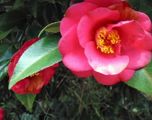 Camellias in Tallahassee's Maclay Gardens State Park (Credit: G. Kae, 2009)