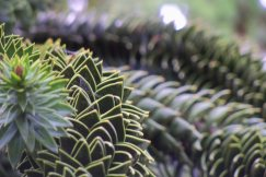 Monkey Puzzle Tree, Shore Acres State Park, Coos Bay, Oregon