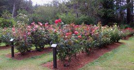 Shore Acres State Park, Coos Bay, Oregon - Rose Garden