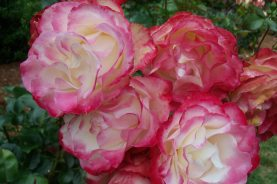 Shore Acres State Park, Coos Bay, Oregon - Rose Garden