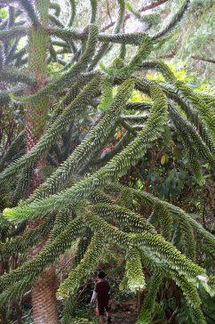 Monkey Puzzle Tree, Shore Acres State Park, Coos Bay, Oregon