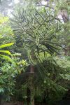 Young Monkey Puzzle Tree, Shore Acres State Park gardens
