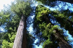Jedediah Smith Redwoods State Park near Crescent City, CA