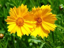 Coreopsis_grandiflora_002