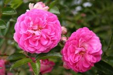 Dorothy Perkins roses (Credit: Wikipedia)