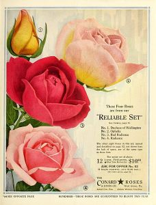 """""""The Conard Star Roses,"""" 1924 (Image Credit: Wikimedia Commons - uploaded to Flickr by Biodiversity Heritage Library)"""