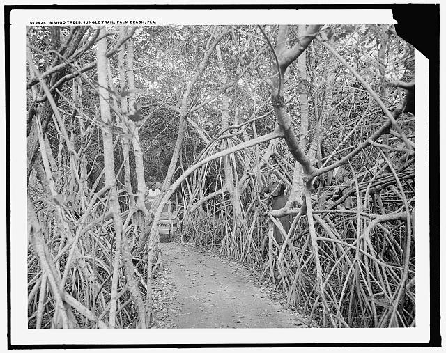 Mango [sic] trees on the jungle trail, Palm Beach, Fla. - Detroit Publishing Company, 1910-1920 Credit:  Library of Congress Prints and Photographs Division Washington, D.C.
