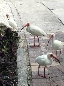 Some white ibis